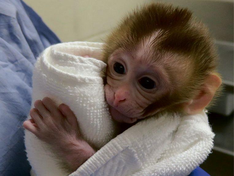 Het twee weken oude aapje 'Grady'. Beeld OHSU