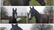 """Verdwaald paard stelt Nederlands dorpje vlak bij Belgische grens voor raadsel: """"Zoiets mis je toch?"""""""