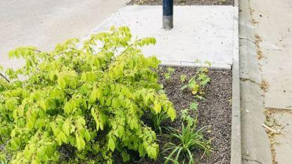 Plantsoenen in Kontich-Centrum krijgen opfrisbeurt