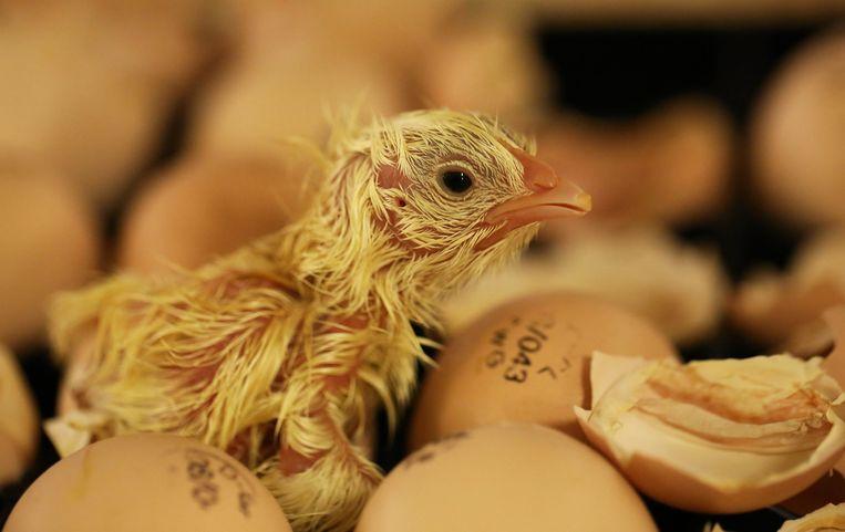 Een pasgeboren kuiken kruipt uit een ei.  Beeld Nederlandse Freelancers