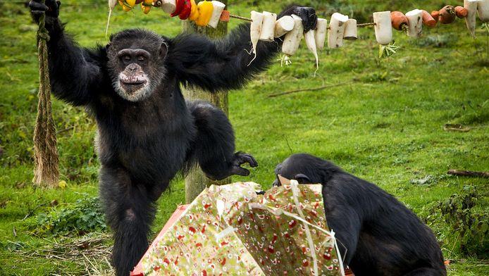 De chimpansees van Safaripark Beekse Bergen eerder dit jaar tijdens hun kerstdiner