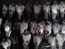 Al ruim 130 dode duiven in Lelystad, aten allemaal 'roze' graankorrels