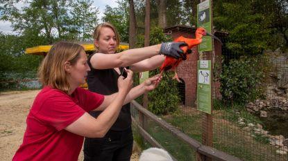 Harry Malter park opent maandag, ontsnapte rode ibis uit Planckendael kon niet wachten