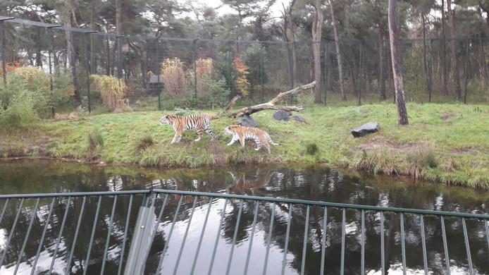 Rennen tussen de tijgers.