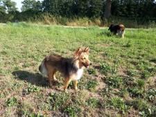 Speurhonden en zoekteam voor vermiste sheltie Twixy in Loenen