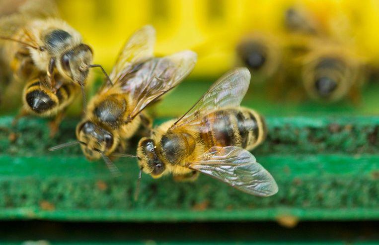 Bezige bijen. Beeld AD