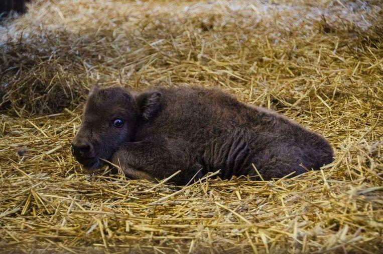 Zondag in de vroege ochtend is mama Estepa bevallen van een mannelijke Europese bizon (foto), na een dracht van ongeveer 9 maand.