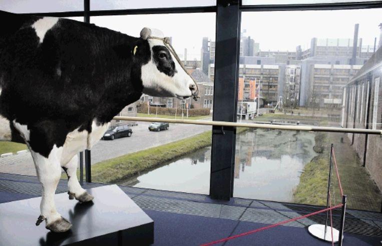 Stier Herman, te zien in Naturalis in Leiden. Hij leefde van 1990 tot 2004 en was de eerste genetisch gemodificeerde stier aller tijden. ( FOTO JOÃ¿L VAN HOUDT ) Beeld Jo'l van Houdt