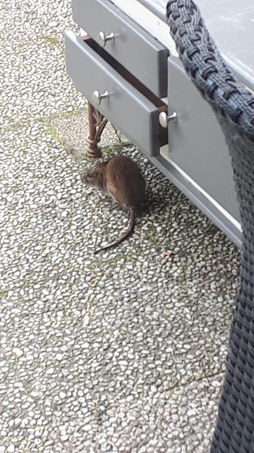 De rat in de tuin van Maria Wierenga