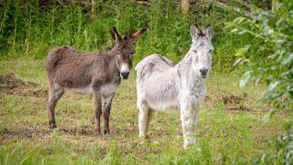 Ezels Raf en Hector helpen bij onderhoud Smoorbeekvallei