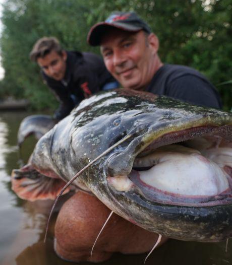 Nog veel grotere monstermeervallen in Nederlandse rivieren