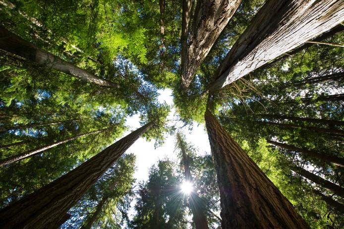 De UT onderzocht sinds 2006 een bos vol sparren. Foto ter illustratie.