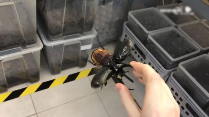 VIDEO. Kever of helikopter? Dit insect is beide