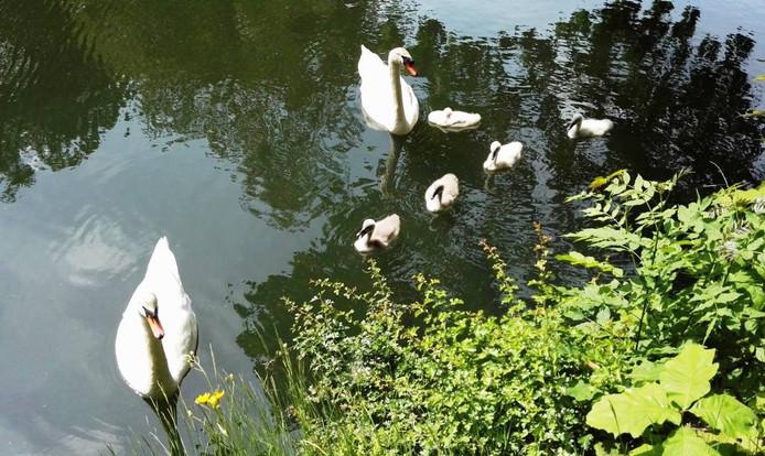 Vader en moeder zwaan beschermen hun kroost met hun leven.