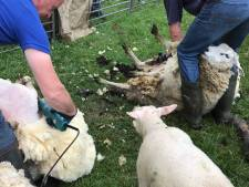 Dit was het schaapscheerdersfeest in Rouveen