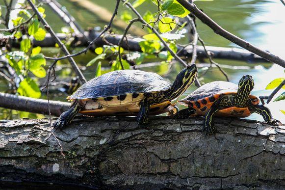 De schildpadden werden allicht jaren geleden gedumpt in de vijver.