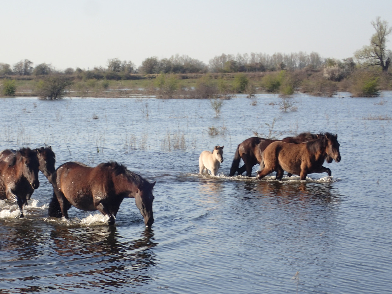 In de Gelderse Poort werden dertig jaar geleden voor het eerst in Nederland wilde paarden uitgezet.