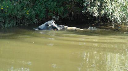 Boer bindt staalkabel om nek van koe en sleurt die met tractor uit Dender