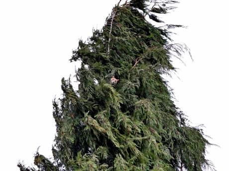 Brandweer redt bange kat na uren uit metershoge boom