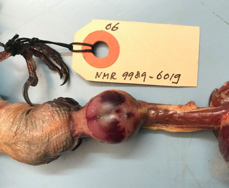 Een schedelbloeding bij een van de onderzochte spreeuwen. Beeld Kees Moeliker