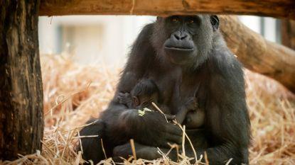 VIDEO. ZOO Antwerpen maakt geslacht babygorilla bekend