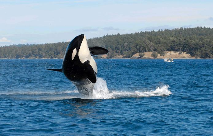 De bijna honderd walvisachtigen die in Rusland worden vastgehouden komen vrij.