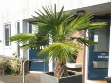 Piet z'n palmboom is uit de voortuin gejat: 'Ik zorg er al 30 jaar voor'