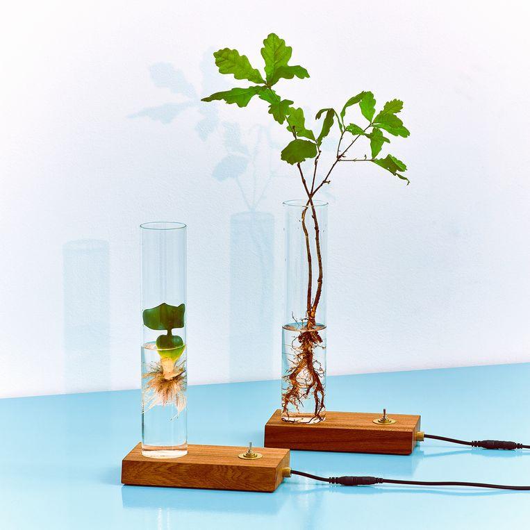 Lampje De 'Green Dexter' van plantenmerk Spruitje is een vaasje en lamp ineen die de wortels van een stekje belicht, € 125. Beeld spruitje.nu