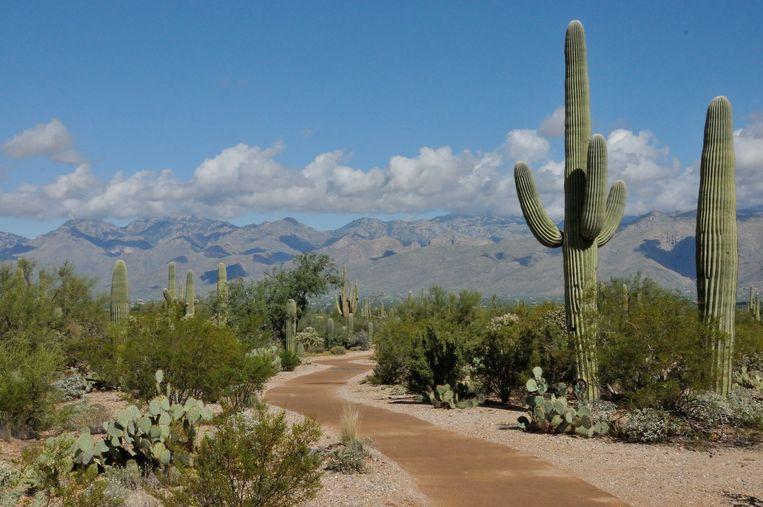 Het Saguaro National Park dankt zijn naam aan de saguaro,  een reuzencactus die meer dan twintig meter hoog kan worden.