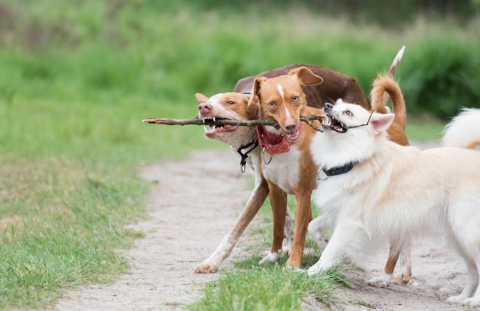 Jaarlijks worden in Nederland zo'n 150.000 honden aangeschaft.