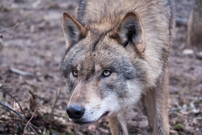 De wolf wordt steeds vaker in ons land gesignaleerd.