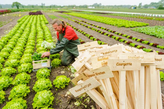 Peet en Elza de Krom telen groenten en fruit op veganistische basis, als een van de eersten in Nederland.  Deze sla is klaar om te worden geoogst.