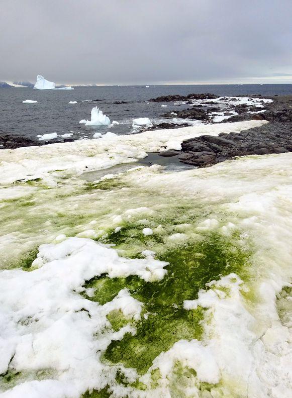 Zee-ijs kleurt groen op Antarctica.