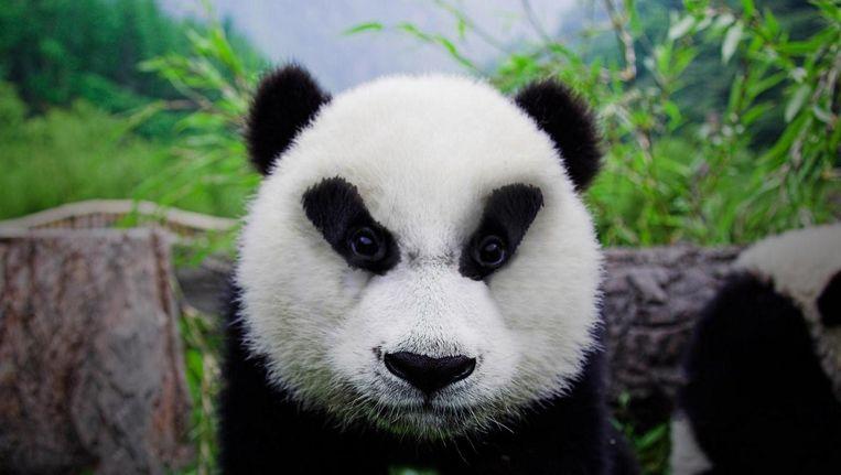De reuzenpanda boort aan wat experts het 'babyschema' noemen, dat diepe gevoel van buikige weekheid en wegsmelten. Beeld