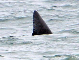 Haai zet tanden in surfer