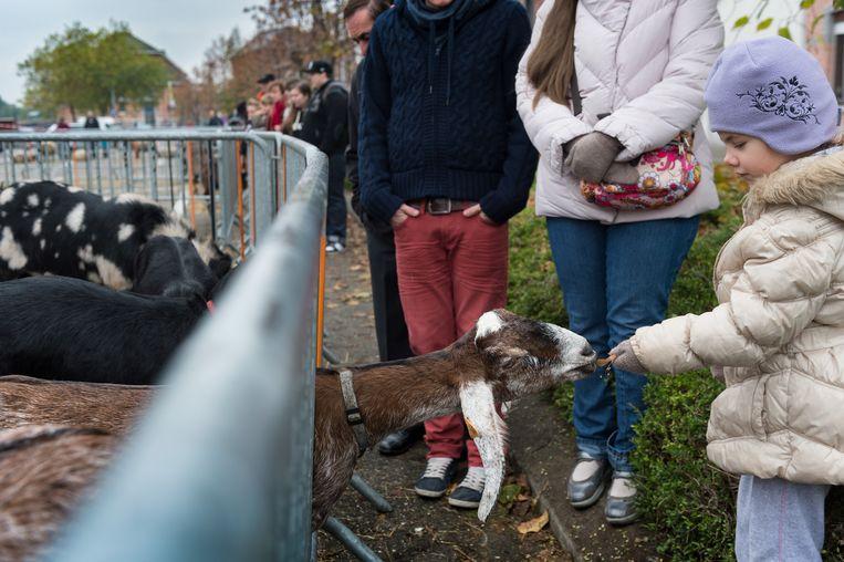 Naast koeien en paarden vind je op Willebroek Jaarmarkt ook geitjes en schapen.