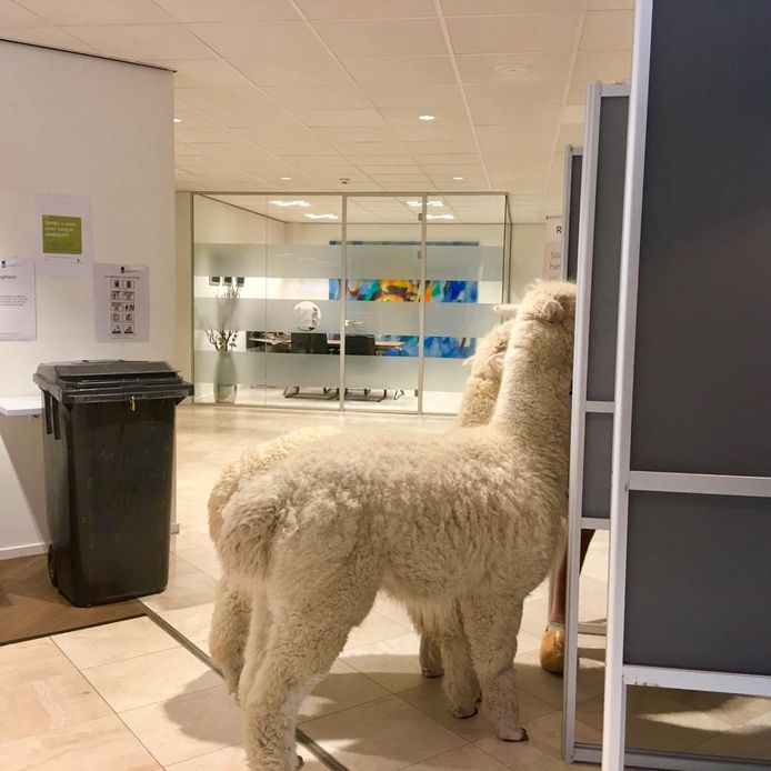 Alpaca's Ohio en Kwint brengen samen hun stem uit voor de Europese verkiezingen van 2019.