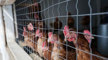 Pseudovogelpest in drie gemeentes: vaccinatie van duiven en pluimvee verplicht
