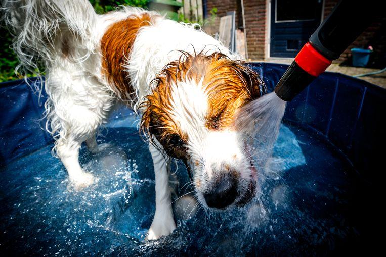 Een hond verkoelt zich in een zwembadje op een warme Hemelvaartsdag. Gemiddeld 2.400 liter gaat er in zo'n badje, aldus Vitens.  Beeld HH