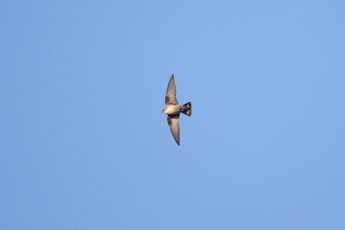 Rotszwaluw zwerft rond de spoedafdeling van Maria Middelares.
