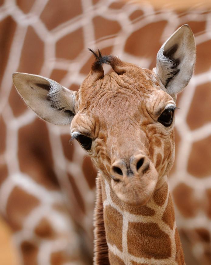 Jong girafje gluurt verbaasd de wereld in.