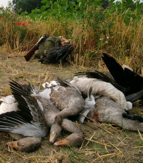 Rotterdamse dierenvriend wil justitie dwingen ganzenjagers te vervolgen