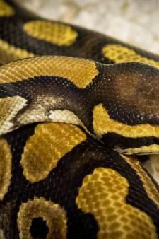 Hoofdpijndossier De Elzen: addertje, of zelfs python onder het gras?