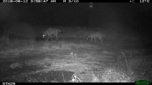 """Deux loups aperçus dans le """"Bosland"""" (Limbourg) en août 2018."""
