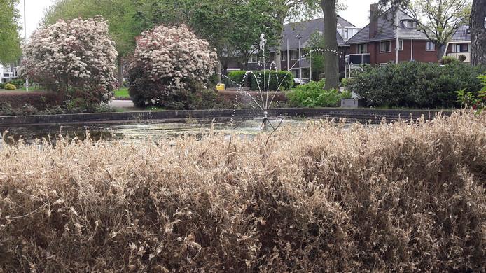 Door de rupsen van de buxusmot aangetaste struiken in het plantsoen aan het Hazeveld in Alphen.