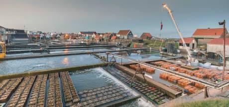 Ondanks horecasluiting toch veel Zeeuwse oesters verkocht rond de feestdagen