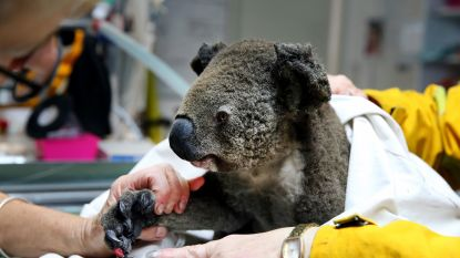 """Dodental koala's nog hoger dan gedacht door bosbranden: """"Zeker 2.000 dieren dood"""""""