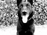Inbrekers verstoppen zich in huis in Eindhoven, maar politiehond Luna spoort ze op