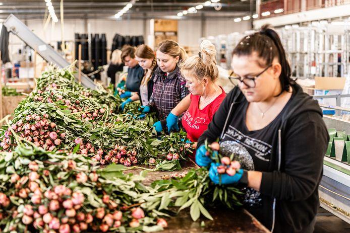 Poolse arbeidsmigranten aan het werk tussen de pioenrozen. V.l.n.r. Joanna, Claudia, Agnieska, Barbara en Jagoda.