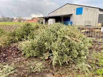 Incovo haalt vrijdag kerstbomen op